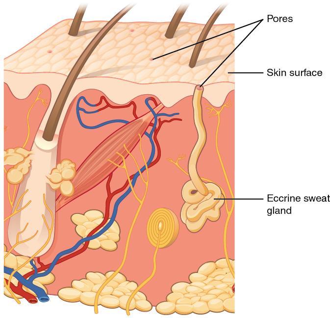 Skin clipart sweat gland. E book accessory structures