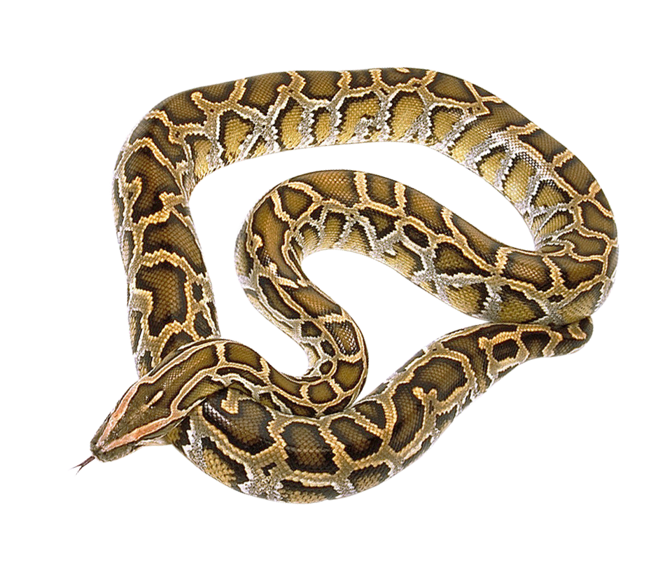 Png image purepng free. Snake clipart boa constrictor