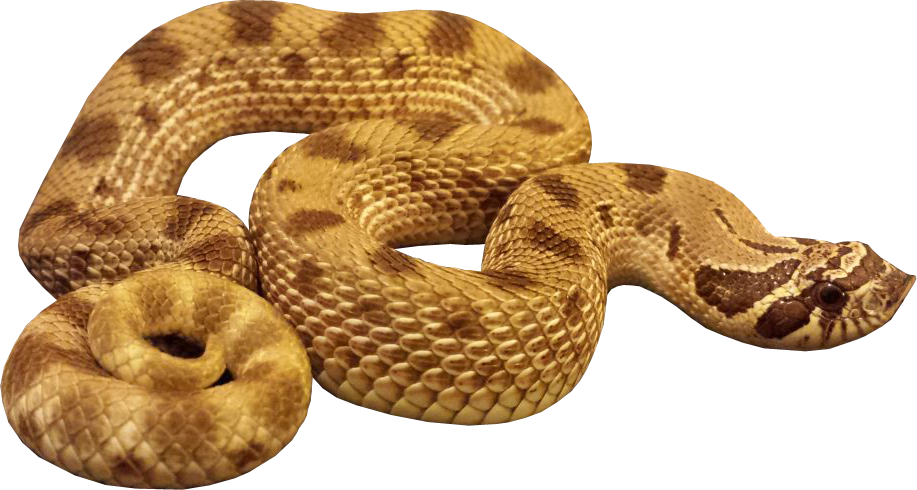 Snake clipart illustration. Brown free on dumielauxepices