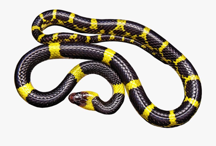 Snakes reptile vipers black. Snake clipart king snake