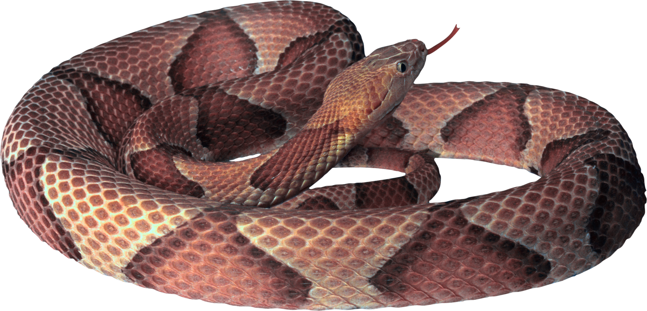 Seven isolated stock photo. Snake clipart tiger snake