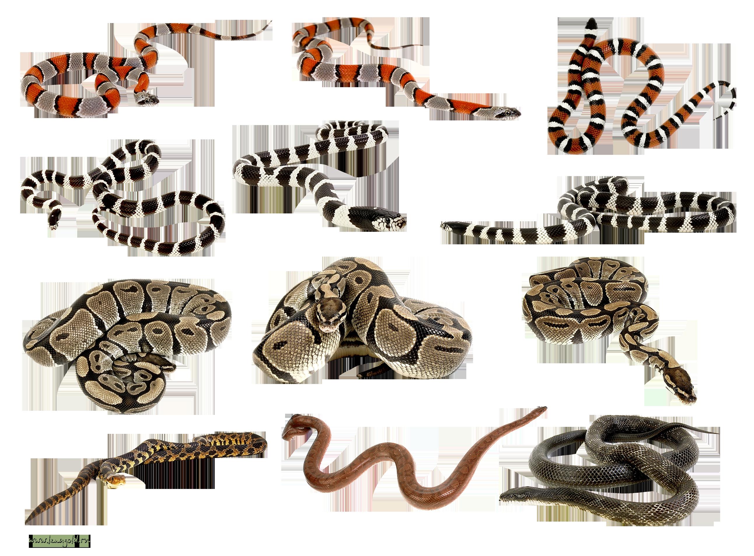 Rattlesnake ajgar frames illustrations. Snake clipart vector