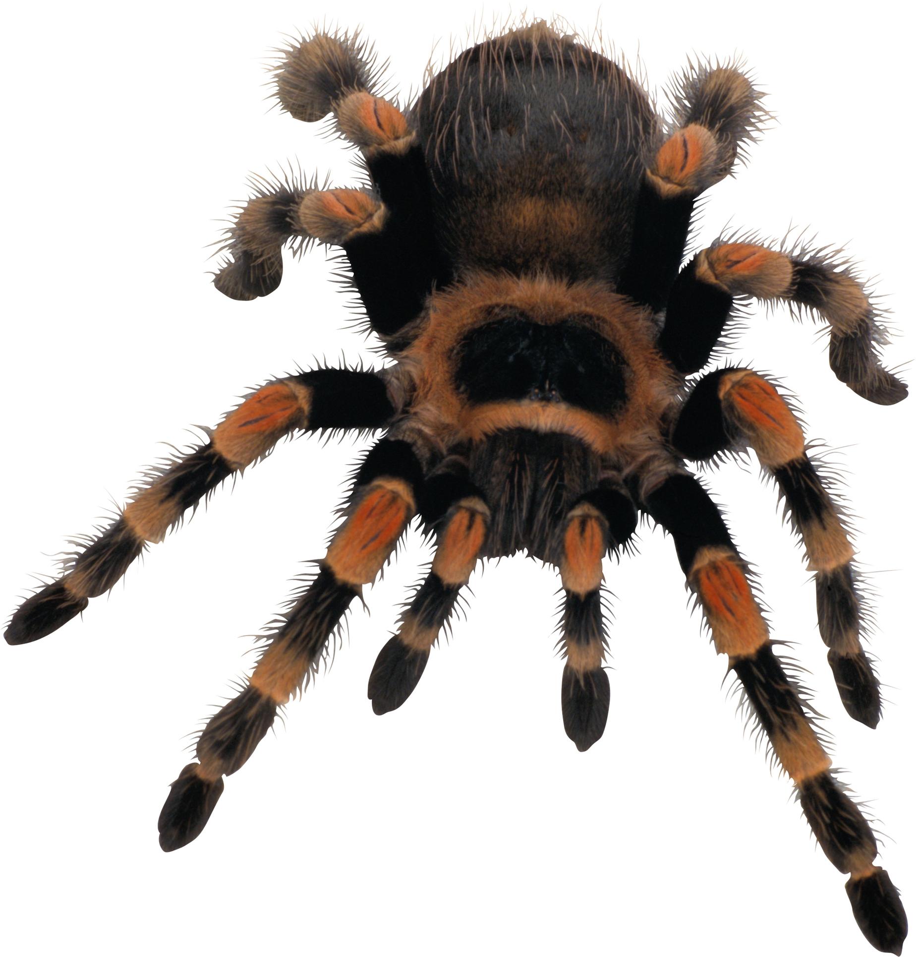 Spider transparent background