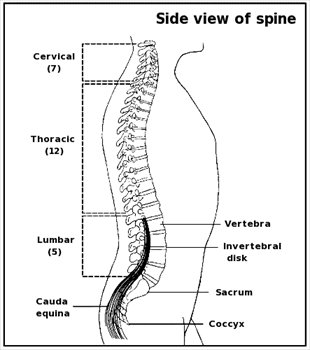 Spine clipart. Free graphics images and