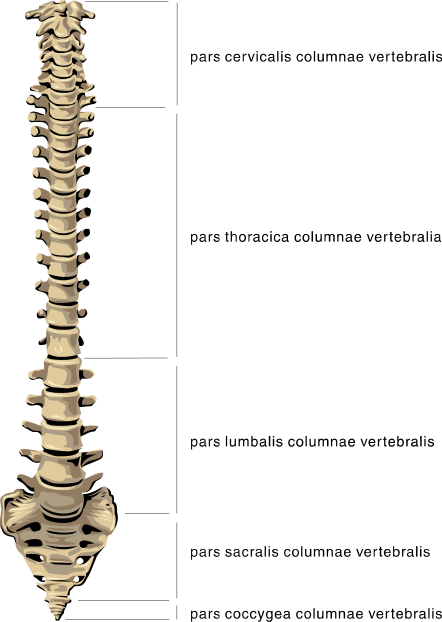 Anatomy medical png html. Spine clipart
