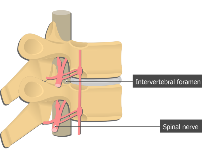 Spinal nerve roots lateral. Spine clipart anterior