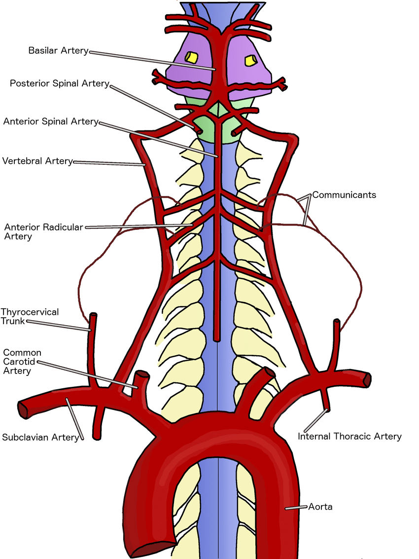 Transparent png free download. Spine clipart anterior