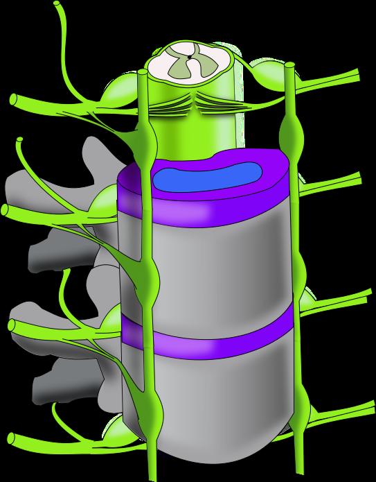Spine vertebral column
