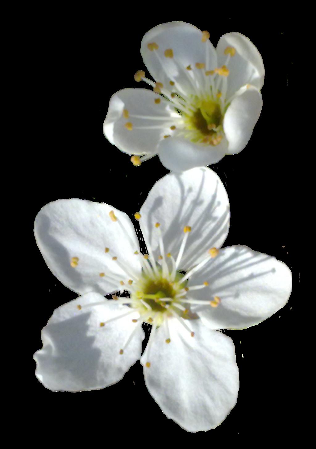 Spring flower png. Transparent image mart