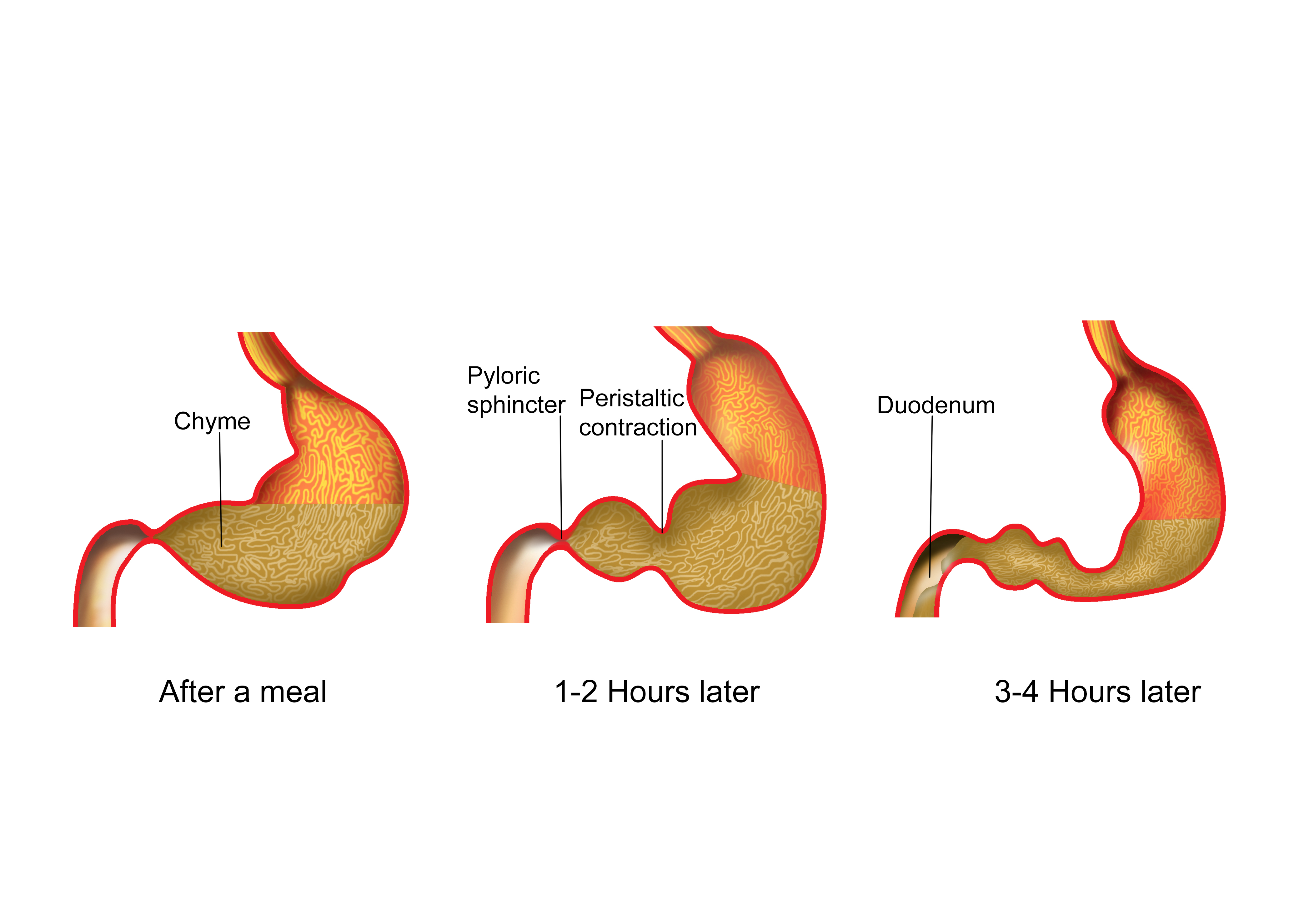 Nroer file image movement. Stomach clipart chyme