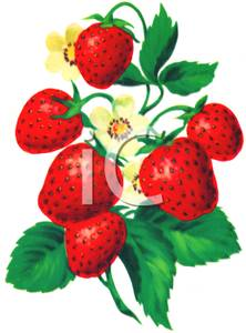 A of growing on. Strawberries clipart bunch