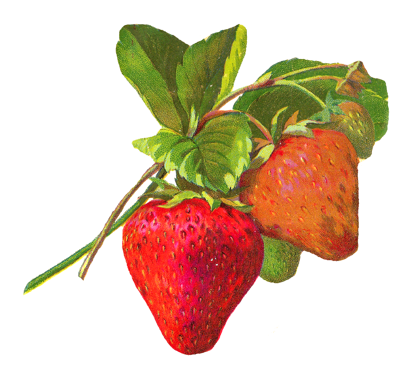 Strawberries clipart fun fruit. Antique images illustrations strawberry