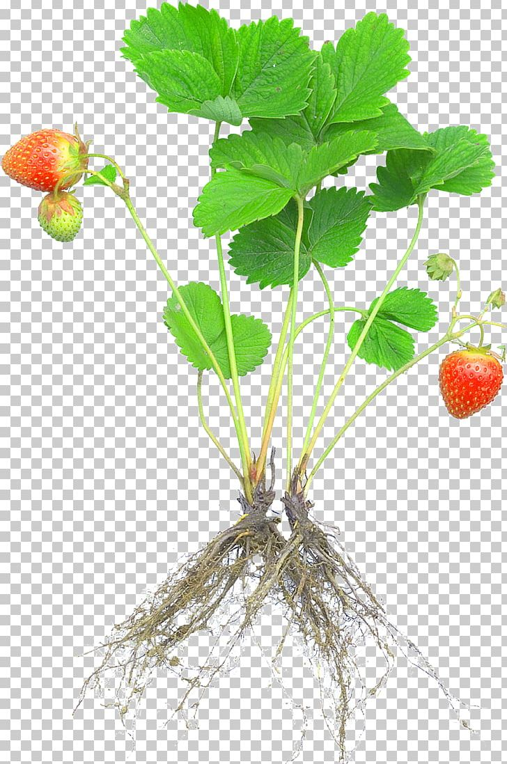 Strawberries clipart stem. Strawberry plant rosaceae fruit