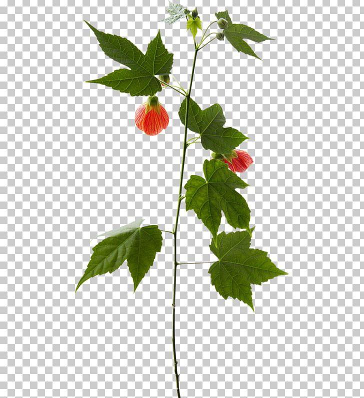 Twig plant leaf strawberry. Strawberries clipart stem