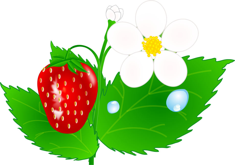 Jh clip art at. Strawberries clipart strawberry flower