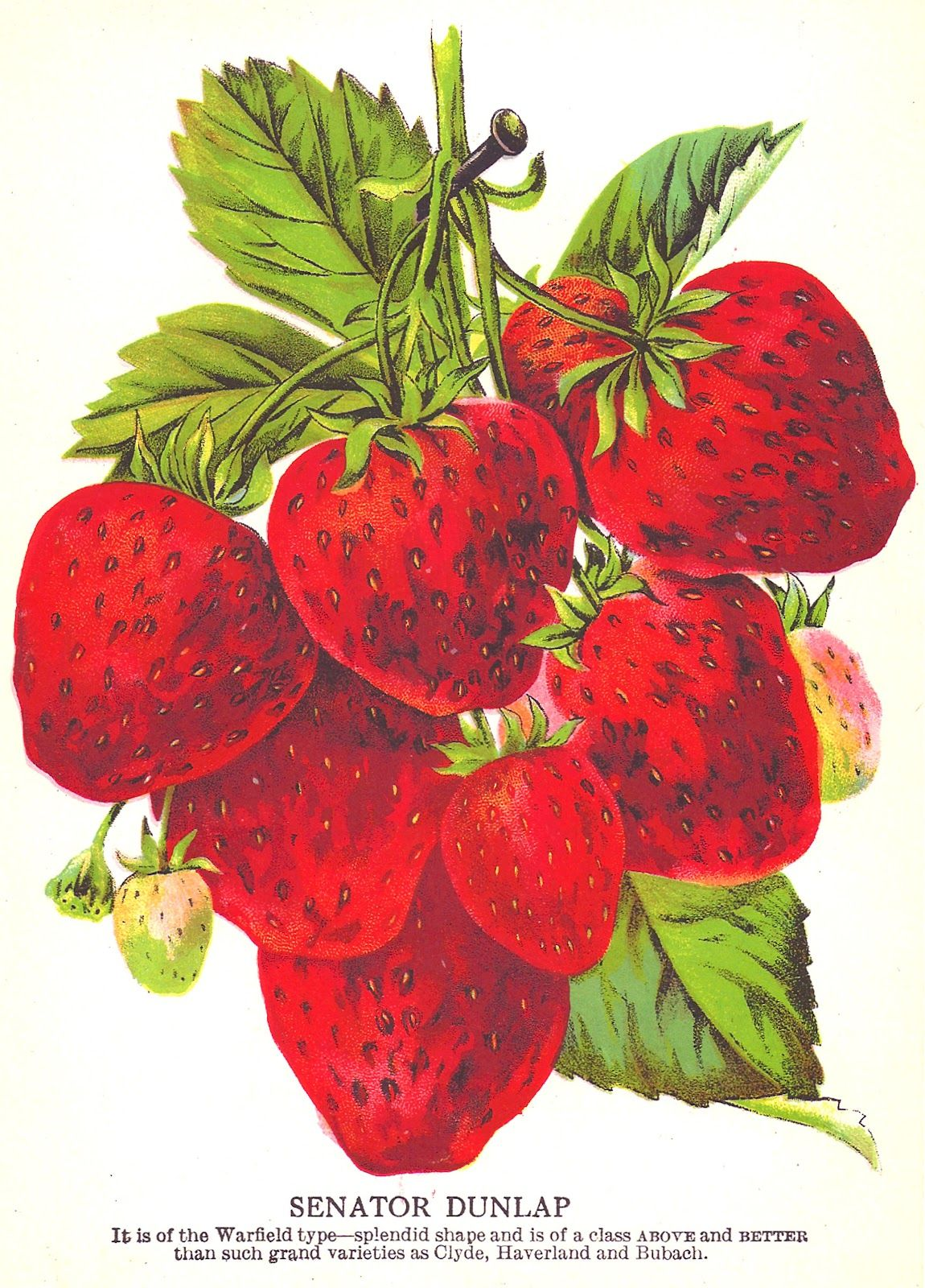Antique images clip art. Strawberries clipart strawberry seed