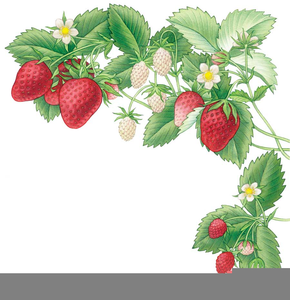 Strawberries clipart vine. Strawberry free images at