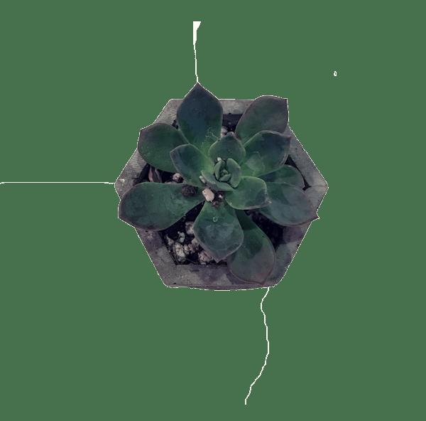 Bird s bonsai. Succulent clipart light green