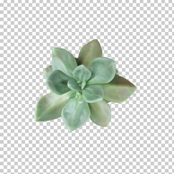 Plant cactaceae leaf png. Succulent clipart light green