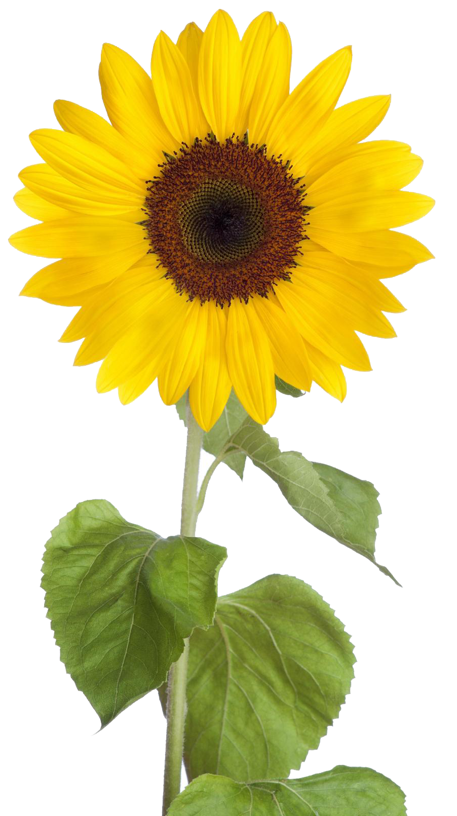 Sun flower png. Free download sunflower images
