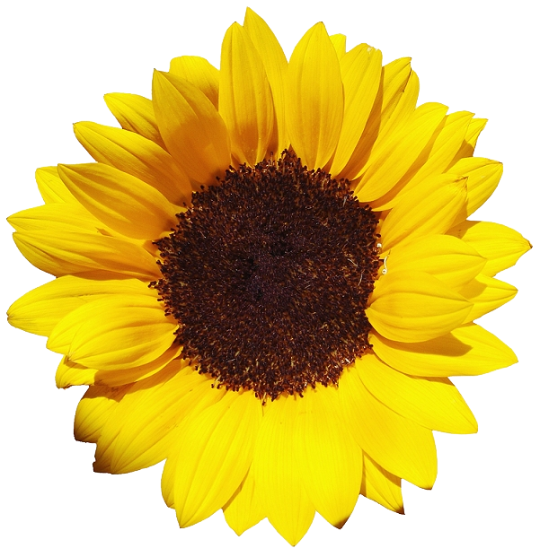 Sun flower png. Sunflower images free download