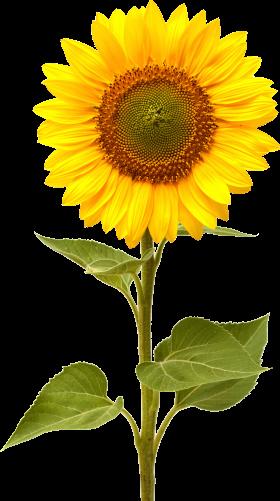Sunflower clip art fonts. Sun flower png