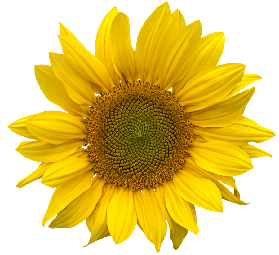 Sunflower vector png. Images free download