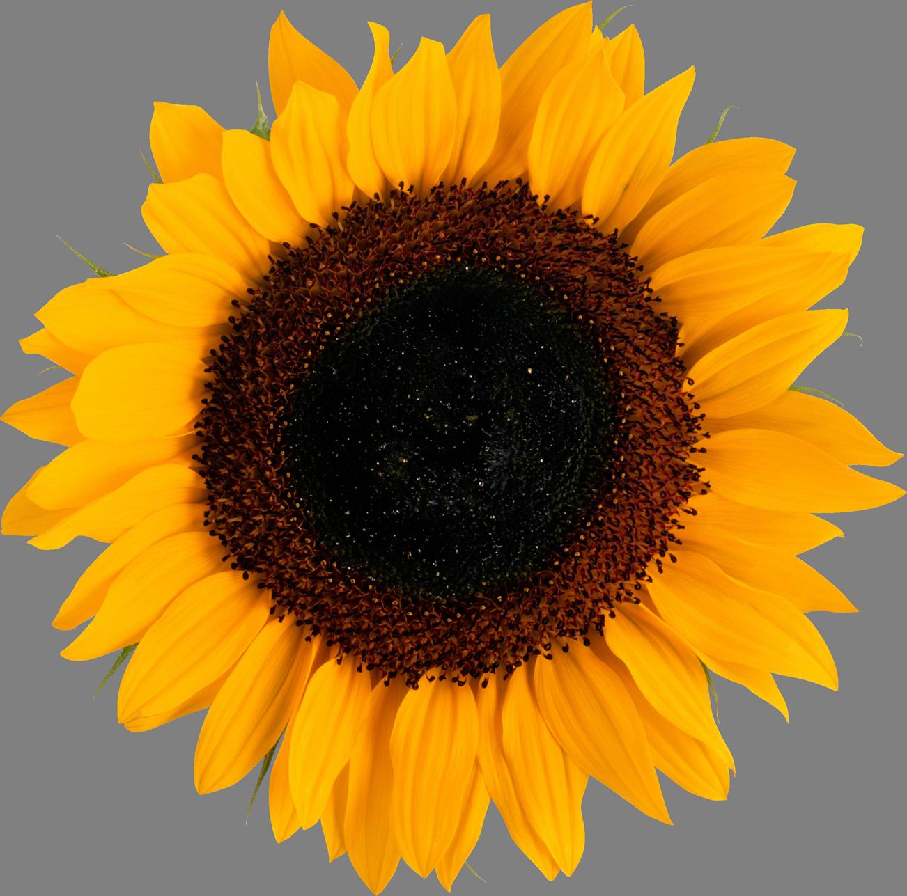 Sunflower image purepng free. Sun flower png