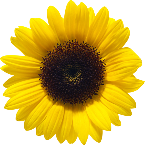 Sunflower images free download. Sun flower png