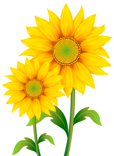 Transparent sunflowers clipart image. Sunflower vector png
