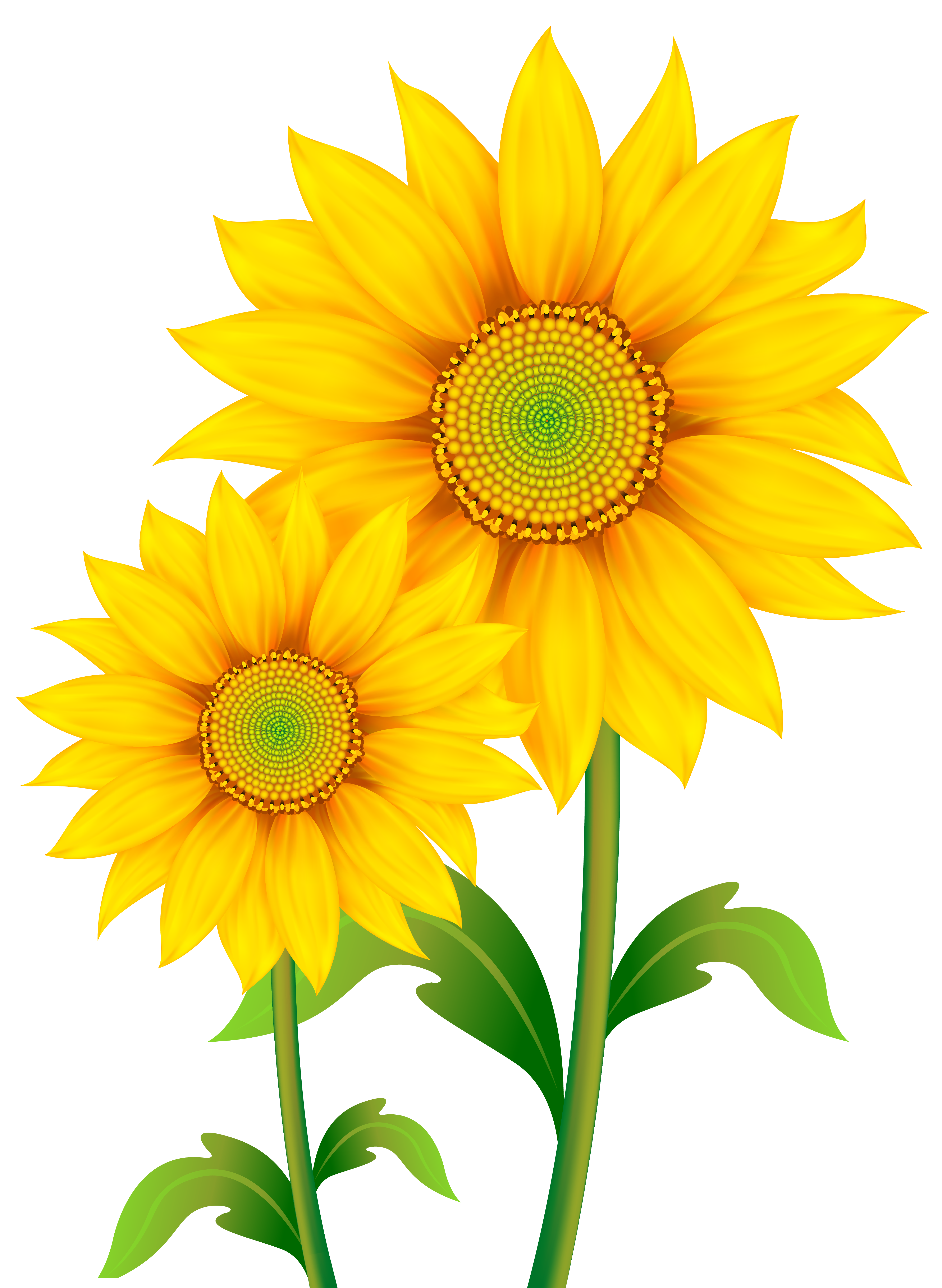 Sunflower border png. Transparent sunflowers clipart image