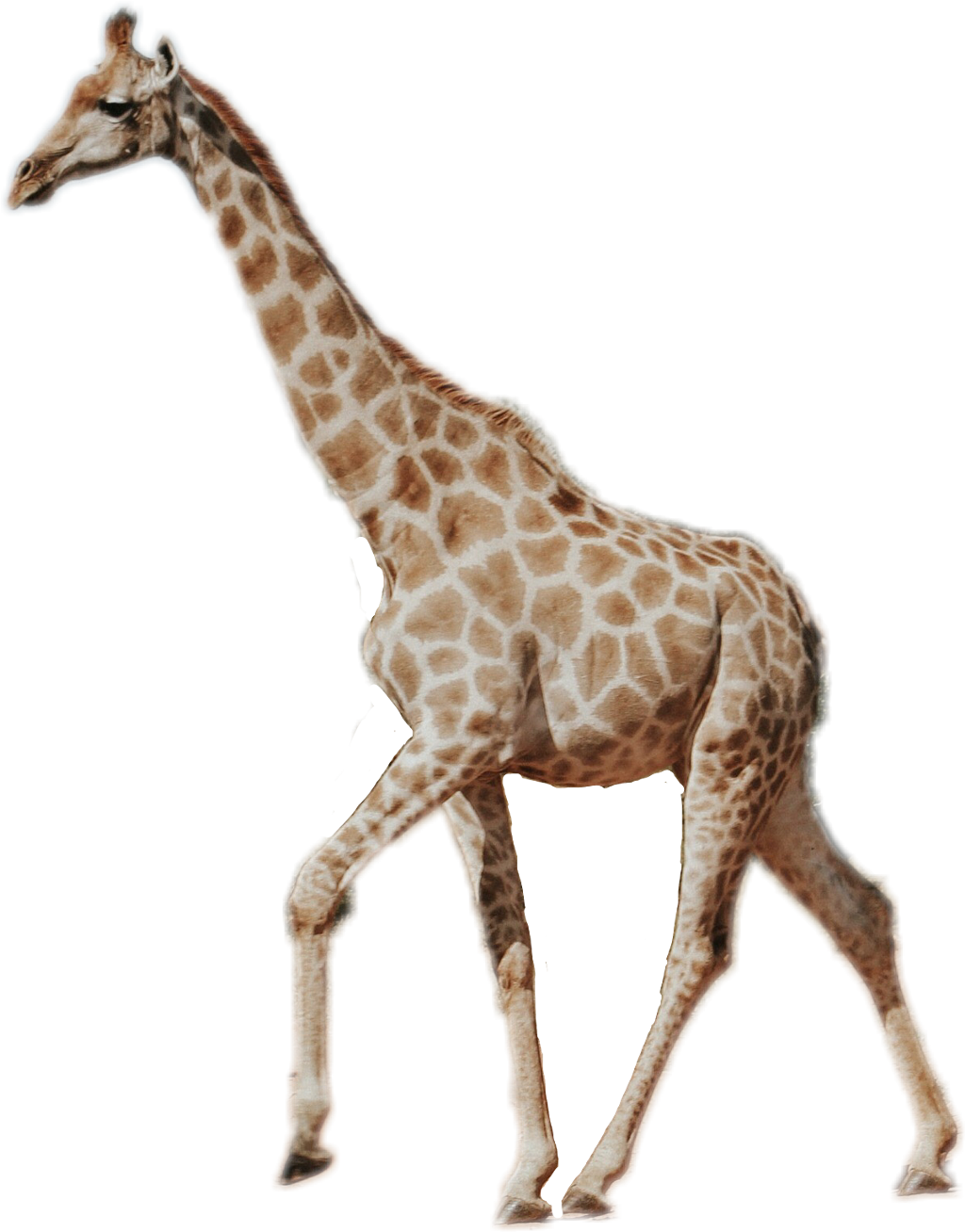 Giraffe neck long real. Tall clipart tall animal