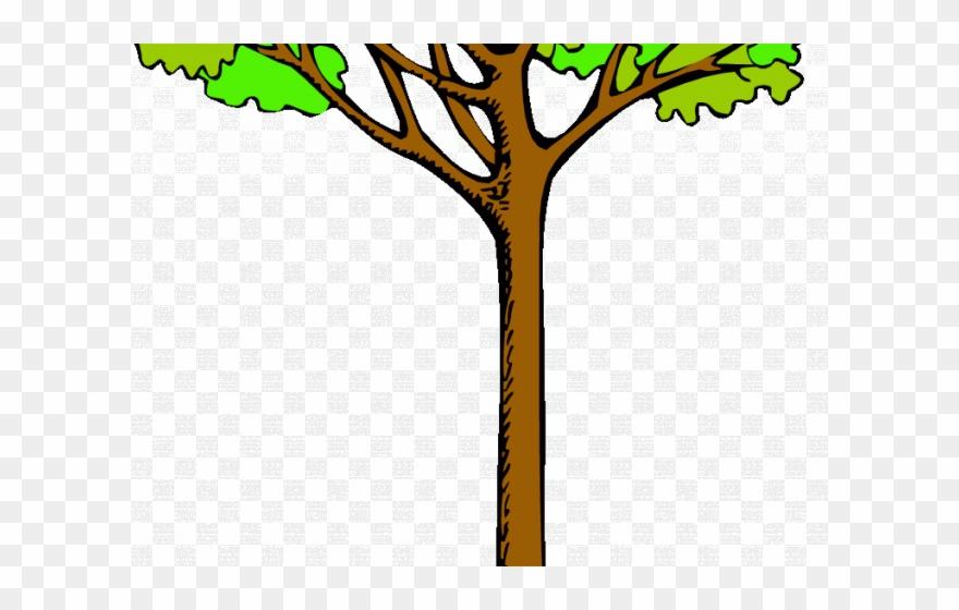 Tall clipart tall tall tall tree. Kauri png