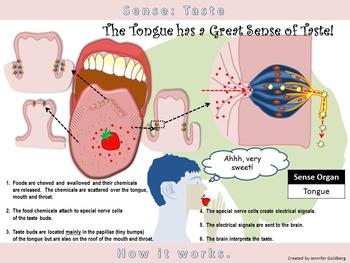 Poster of simple version. Taste clipart sense organ tongue