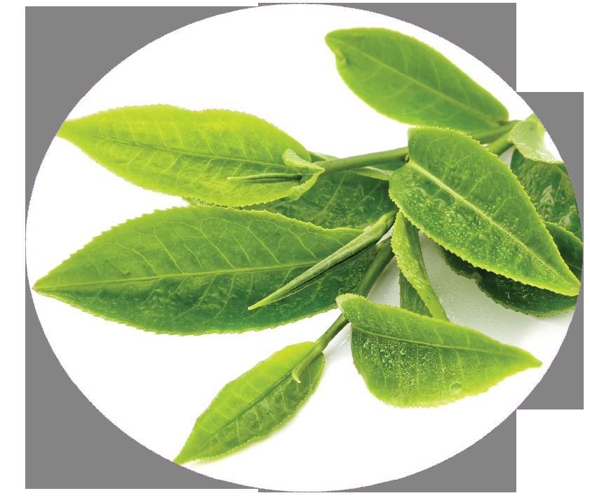Wake up formula with. Tea clipart herbal leaf