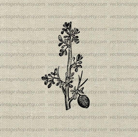 Myrrh plant vector instant. Tea clipart medicinal herb