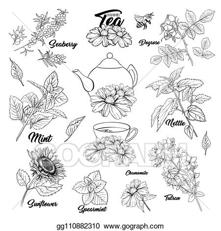 Vector illustration herbs monochrome. Tea clipart medicinal herb