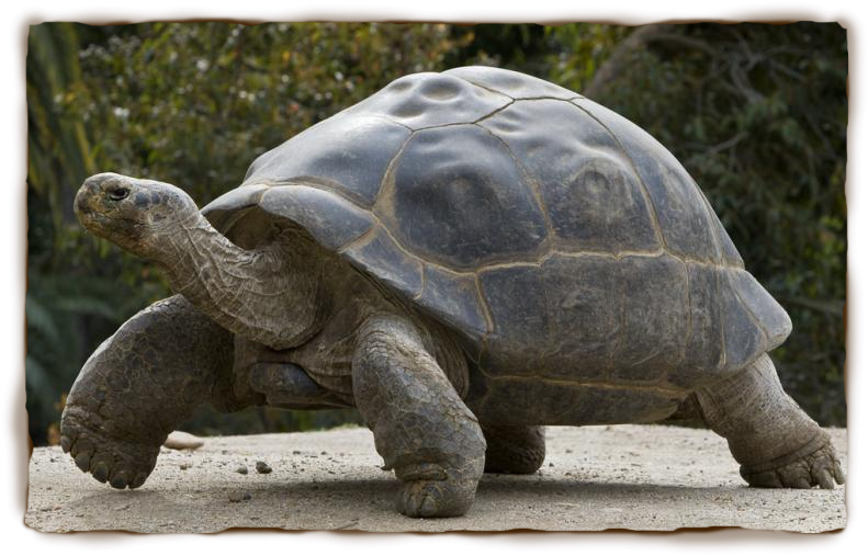 Rules of the jungle. Tired clipart tortoise