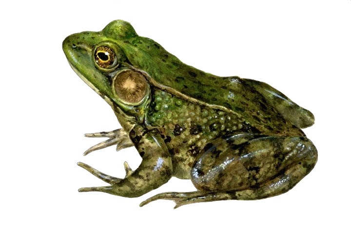 Wetlands botany ecology ecosystem. Toad clipart angry frog