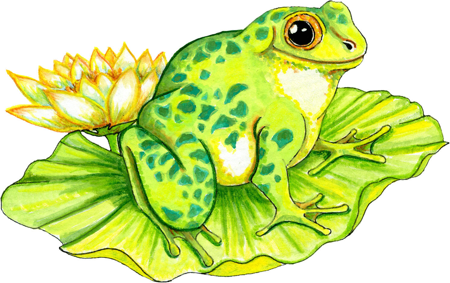 Png on lily pad. Toad clipart frog pond