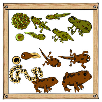 Frogs and toads life. Toad clipart frong