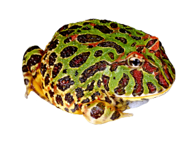 Toad clipart jumps. Frog clip art bufo