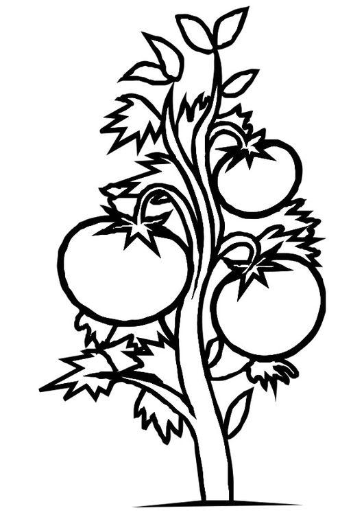 Tomatoes clipart coloring page. Tomato plant garden pages