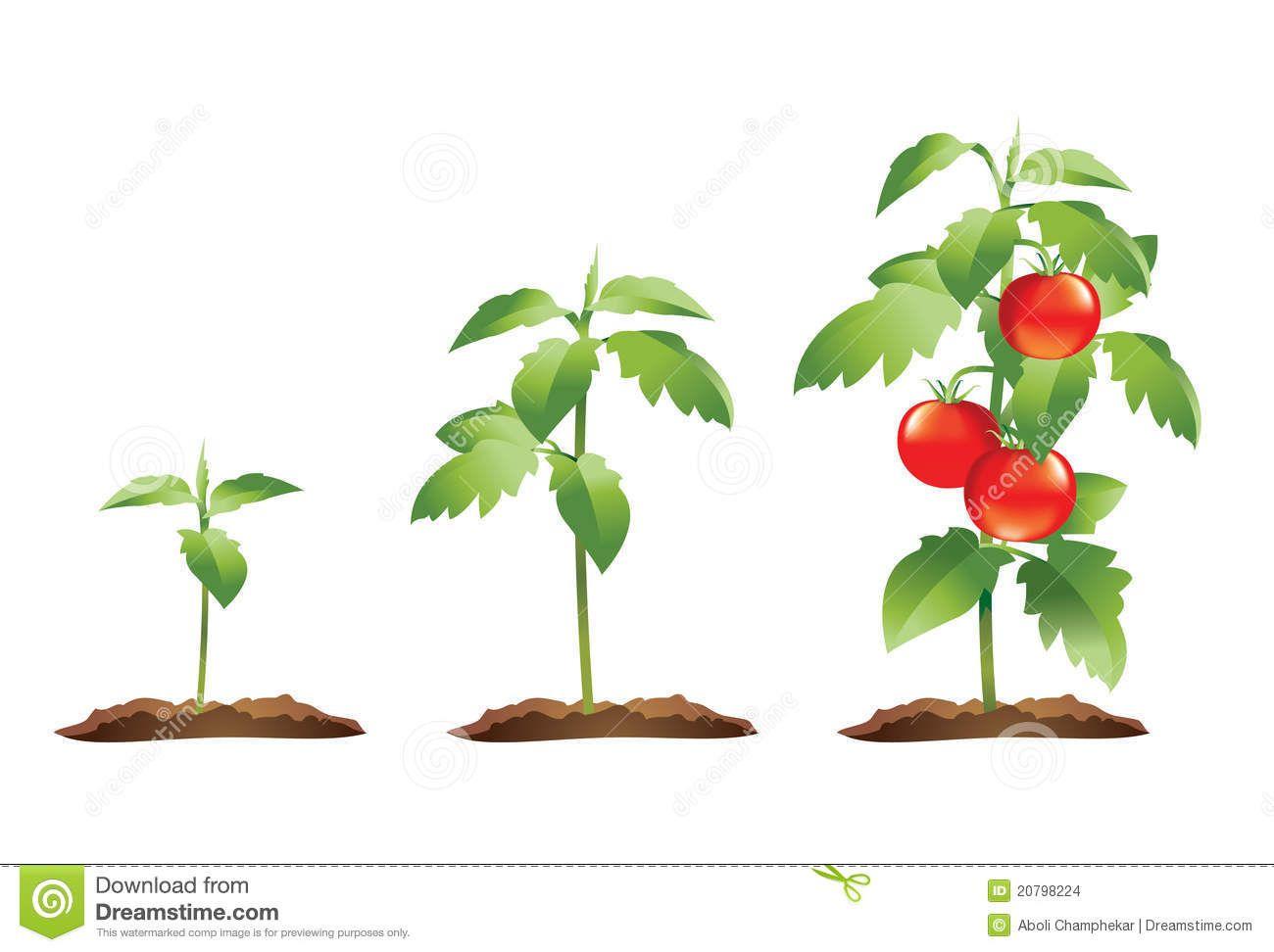 Tomato stock photo image. Tomatoes clipart eggplant plant