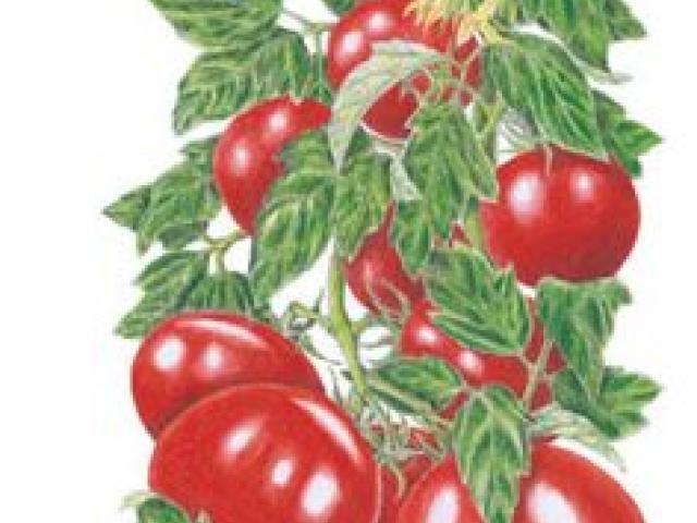 Tomatoes clipart pokok. Free tomato download clip