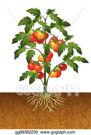 Tomatoes clipart tomato leaf. Vector illustration plant with