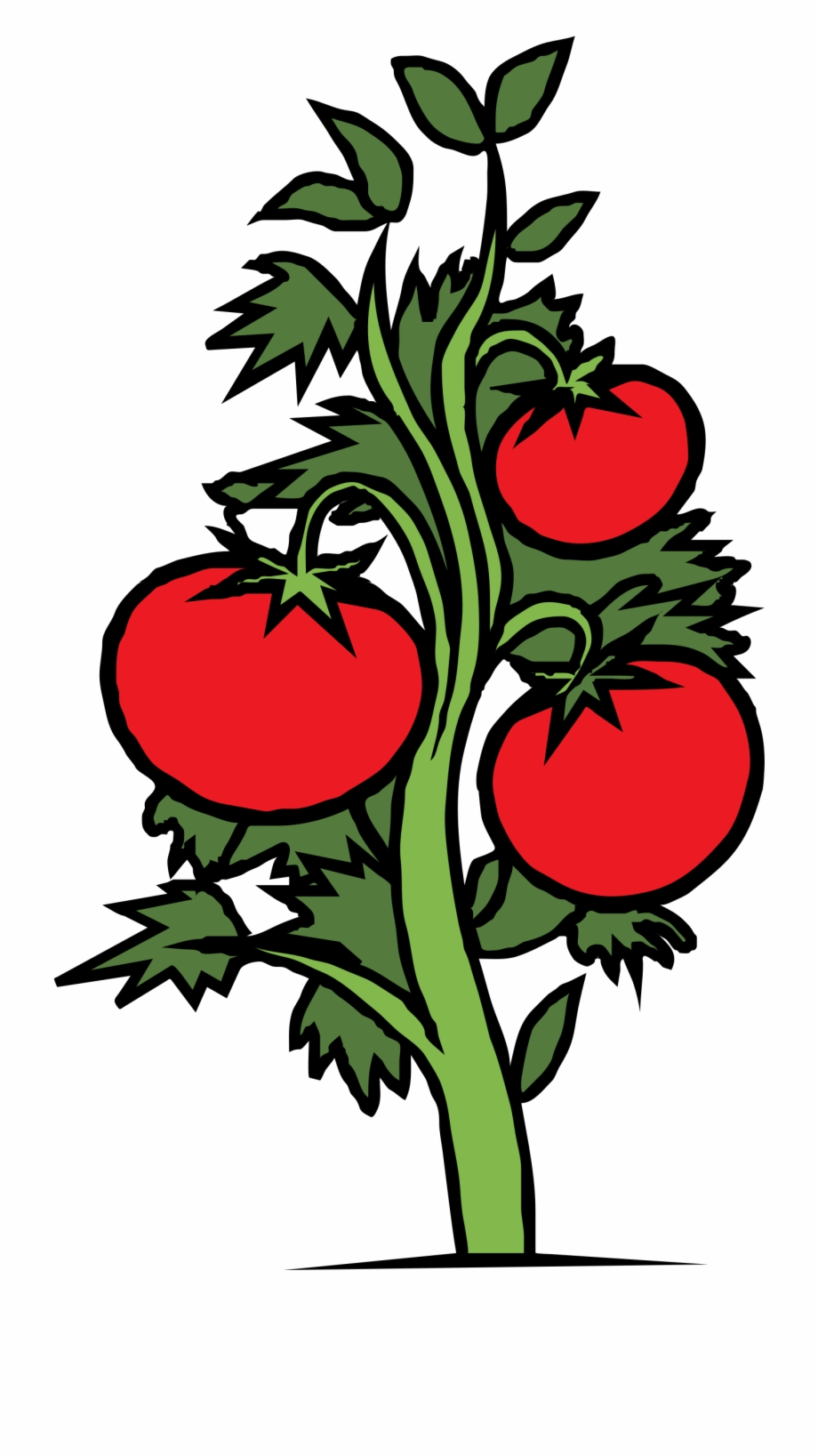 Drawing of plant transparent. Tomatoes clipart tomato stem