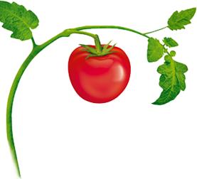 Tomatoes clipart tomato vine. Plant tattoos tattoo friendship