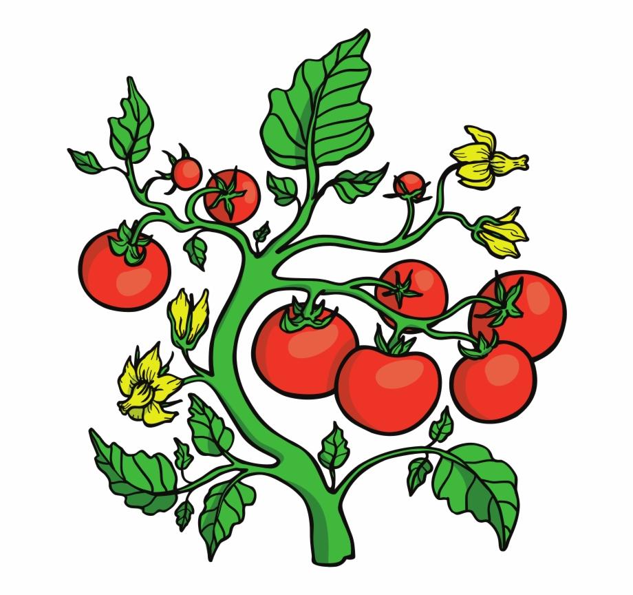 Tomatoes clipart tomato vine. Clip art vines transparent