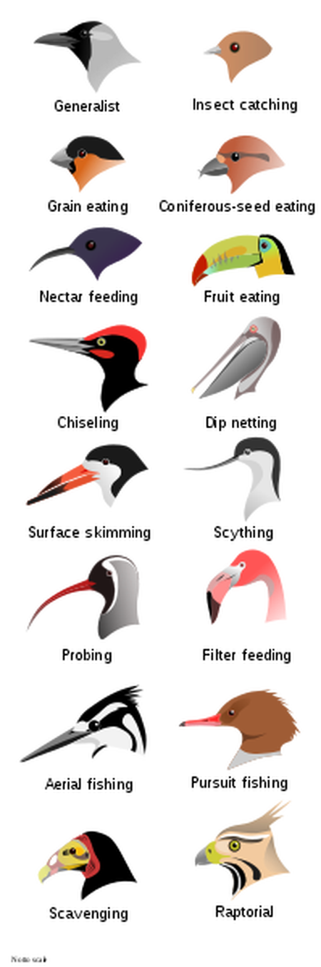 Toucan clipart bill. That hookbill in your